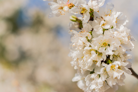 White flowers of fruit tree with unfocused white background