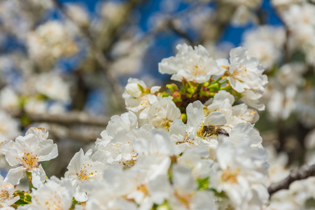 A bee is sucking nectar in a flower of a fruit tree. Some flowers unfocused Stock Photo