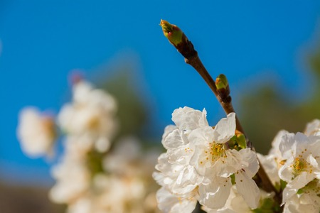 Some white flower of fruit tree and green sprouts, blue sky at background