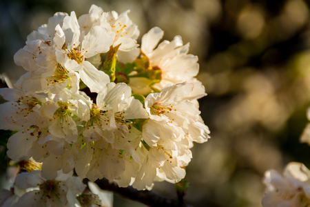 A group of white flowers of a fruit tree, with sunset or sunrise light