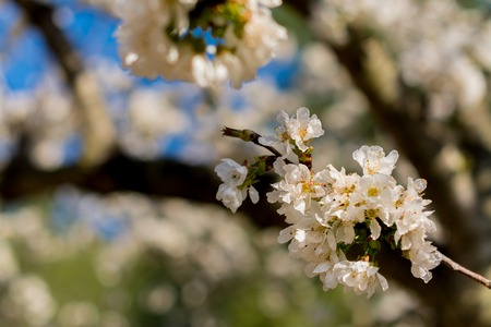 White flowers of fruit tree with unfocused dark background
