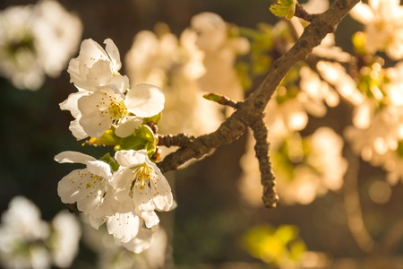 White flowers of fruit tree with lights of sunset or sunrise