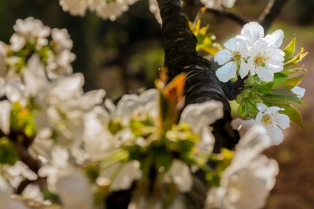 White flowers of fruit tree growing on a branch. Some flowers unfocused