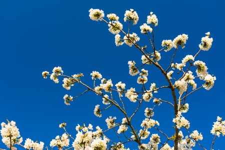 Some branches of fruit tree with white flowers, captured from below, with blue sky Stock Photo