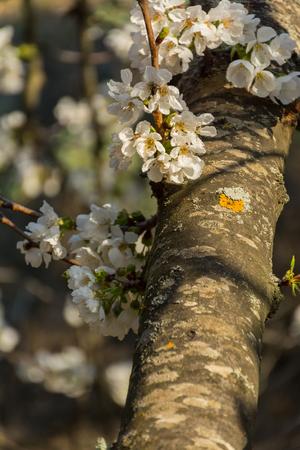 White flowers of fruit tree growing on a branch Stock Photo