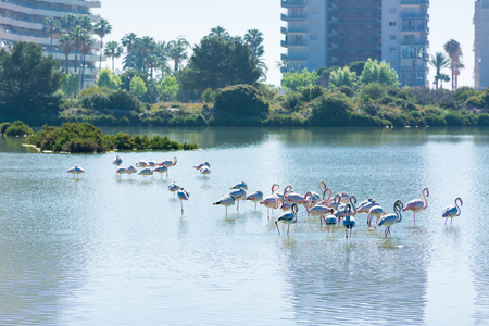 Some flamingos resting in the saltworks of Calpe, Alicante, Spain, next to the apartment buildings, near the coastline 스톡 콘텐츠