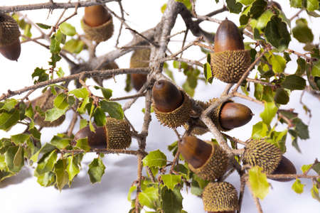 Some oak branches with leaves and acorns, on white background