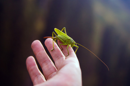 dedo me�ique: Almaty, Kazakhstan, August 15, 2016. Grasshopper perching on the fingers in a mountain gorge