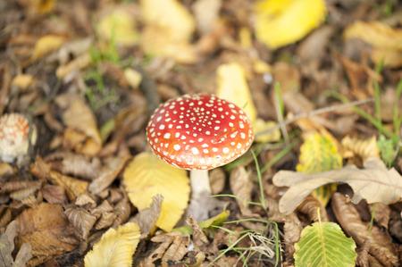 Fly Agaric Mushroom in nature photo