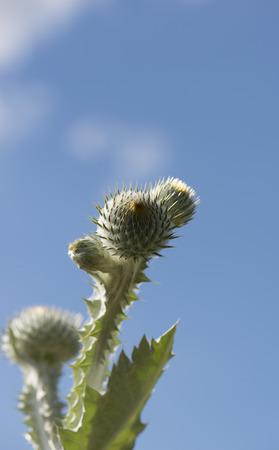 thistle plant: thistle plant