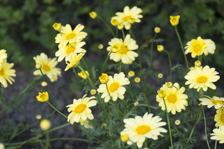 argyranthemum: Yellow Marguerite Stock Photo