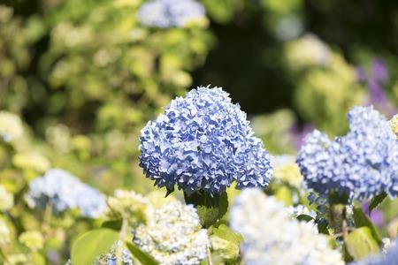 sepals: Hydrangea