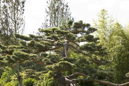 Pinus thunbergii photo