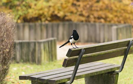 pica: Eurasian Magpie Pica pica Stock Photo