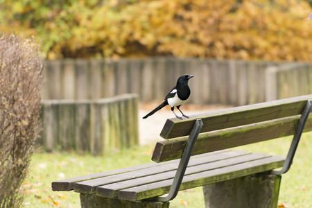 pica: Eurasian Magpie Pica pica Stock Photo