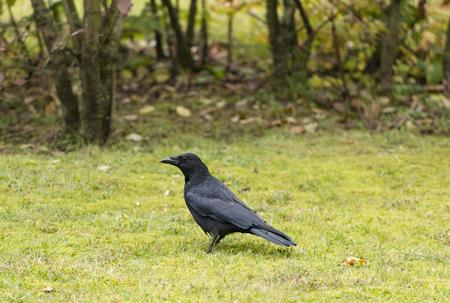 carrion: Carrion Crow Corvus corone Stock Photo
