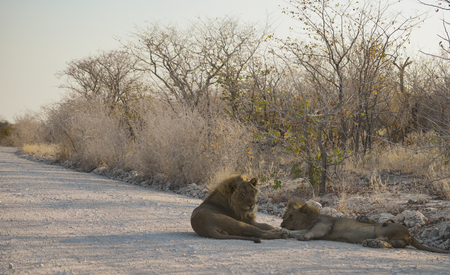 namibia: Lion in Namibia Africa