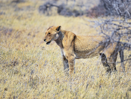 lioness: Lioness in Namibia Africa