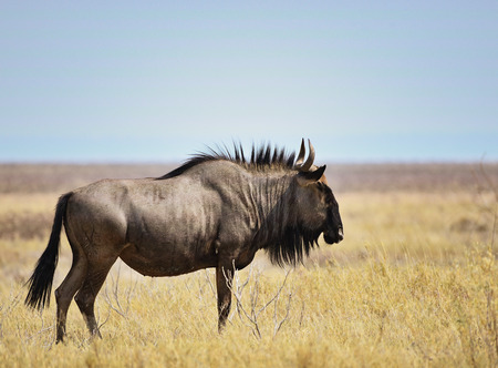 wildebeest: Blue Wildebeest in Namibia Africa