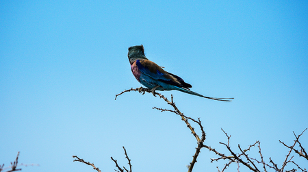 multi national: lilac-breasted roller in Namibia Africa Stock Photo