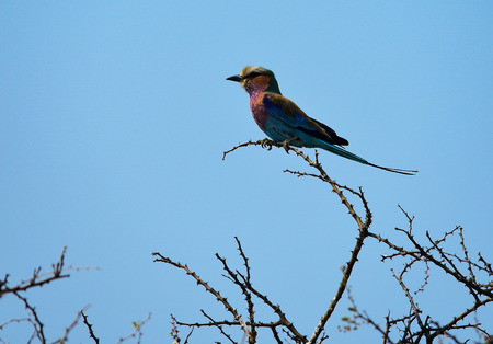 savannas: lilac-breasted roller in Namibia Africa Stock Photo
