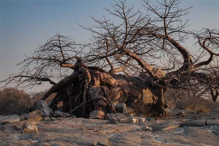 adansonia: Fallen Baobab Tree Stock Photo