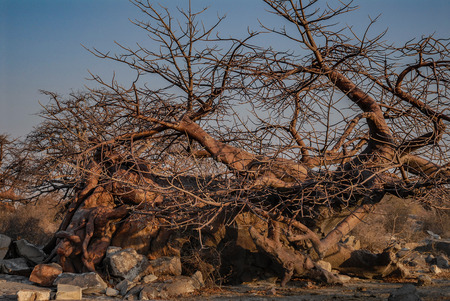adansonia: Baobab Tree Stock Photo