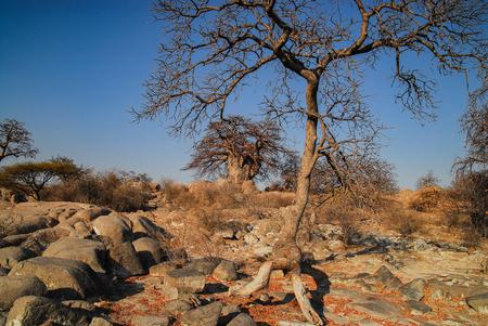 adansonia: Baobab Tree landscape Stock Photo