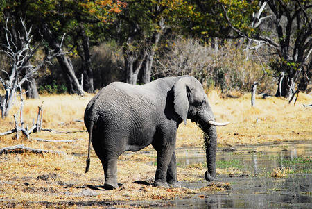 namibia: Elephant in Namibia Africa Stock Photo