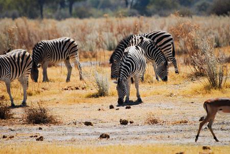 namibia: Zebras in Namibia Africa Stock Photo