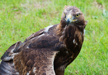 aguila real: Golden Eagle