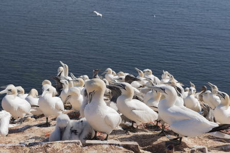 helgoland: Northern Gannet on the Iceland of Helgoland Stock Photo