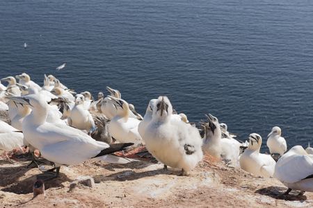boobies: Northern Gannet on the Iceland of Helgoland Stock Photo