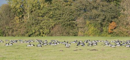 cheek to cheek: White cheek geese or so nows goose