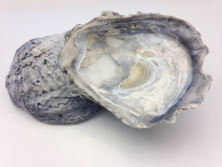 pacific: Pacific cupped oyster so called as a Pacific oyster