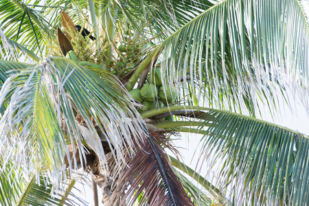 Fruits of a Royal Palm