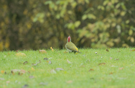 wildanimal: green woodpecker in the food search on a meadow Stock Photo