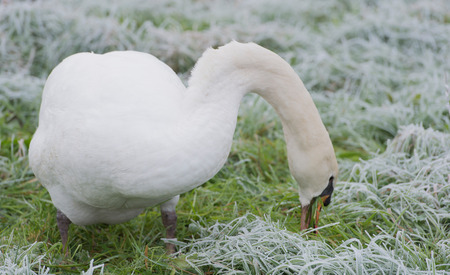 food absorption: Swan eating grass on the meadow in winter