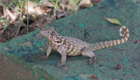varadero: lizard sits on green sheet in Varadero, Cuba Stock Photo