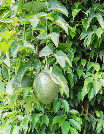 sweetly: Durian fruit grows in a tree in Hanoi, Vietnam