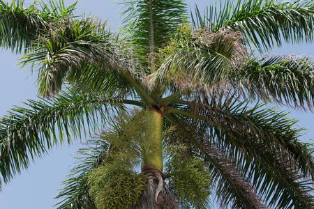 Royal Palm on Cuba Varadero
