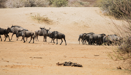 taurinus: gnu in the Etosha National Park in Namibia South Africa