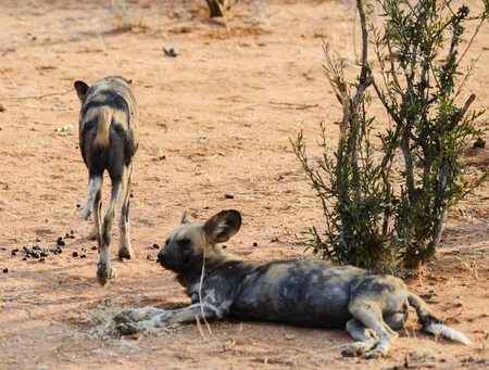 strongly: African wild dog in Etosha national park in Namibia South Africa