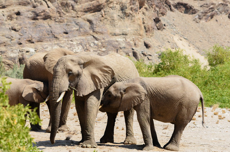 elephants in the Etosha National Park, Namibia South Africa