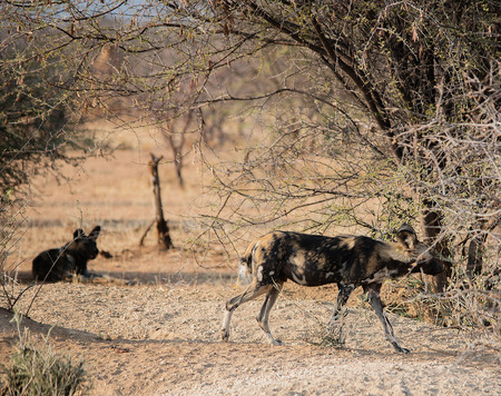 lycaon pictus: African wild dog in Etosha national park in Namibia South Africa