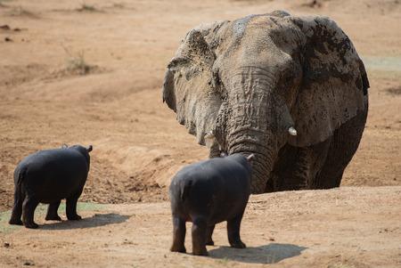 midget: Hippopotamus in the Etosha National Park in Namibia South Africa
