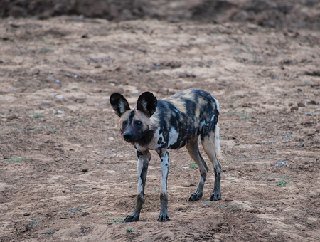 African wild dog in Etosha national park in Namibia South Africa