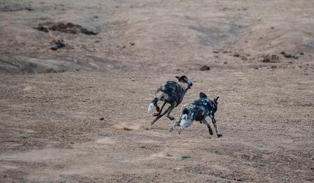 エトーシャ国立公園ナミビア南アフリカ共和国のアフリカの野生の犬 写真素材