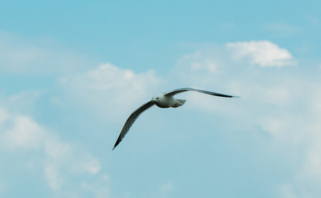 Seagull on the food search in the watt at the North Sea Stock Photo