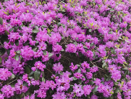 Rhododendrons are a plant genus from the family of heather plants